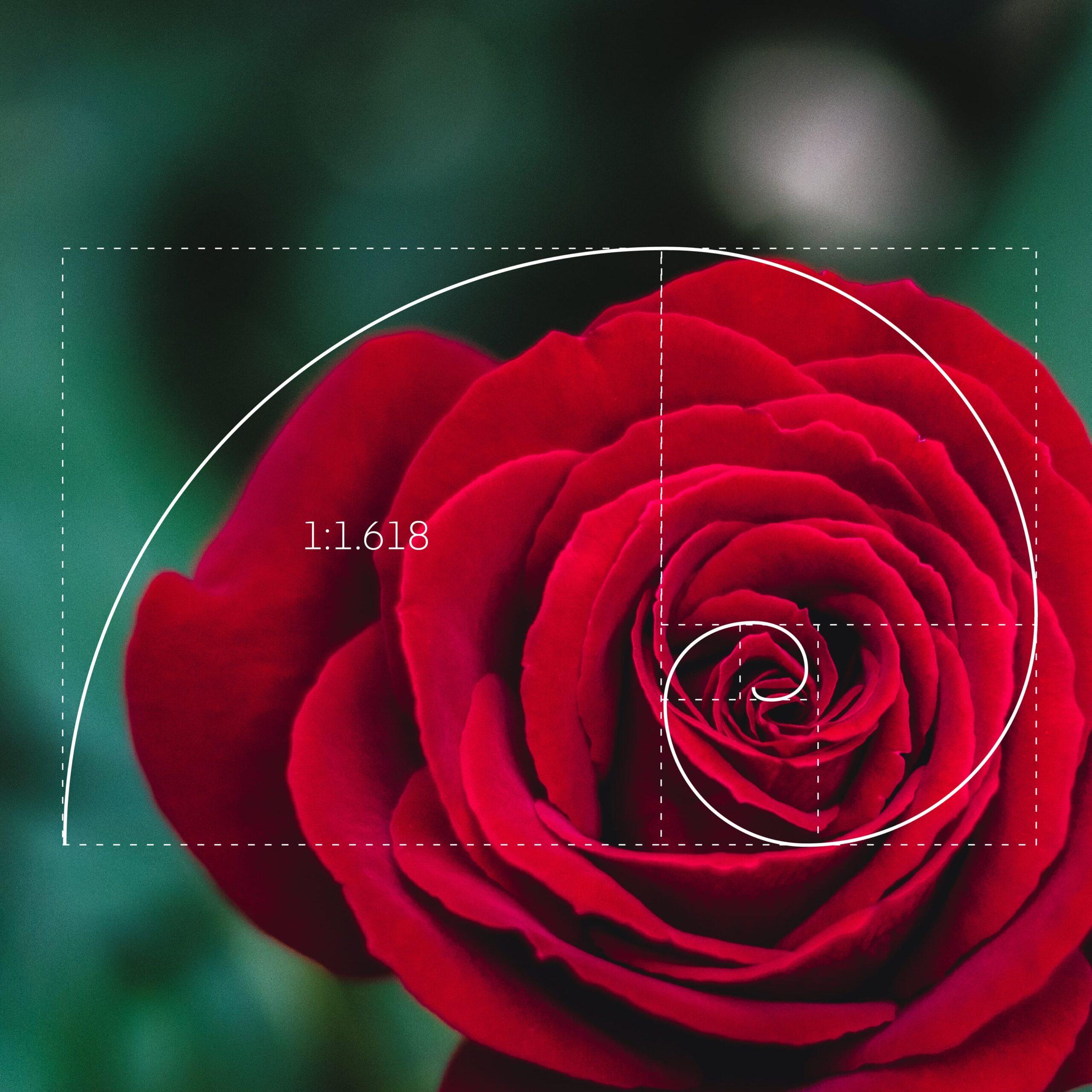 le proporzioni della spirale della golden ratio riscontrate in una rosa rossa